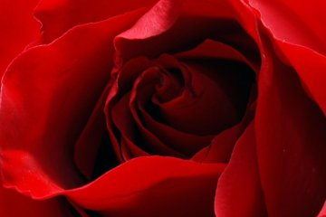 """""""Red Roses"""""""